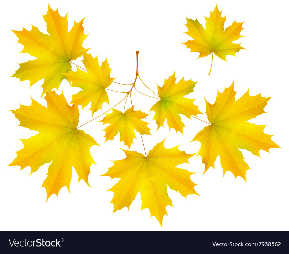 Autumn leaf maple and maple branch