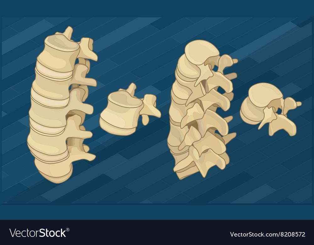 Human Spine Bones Flat Isometric Royalty Free Vector Image