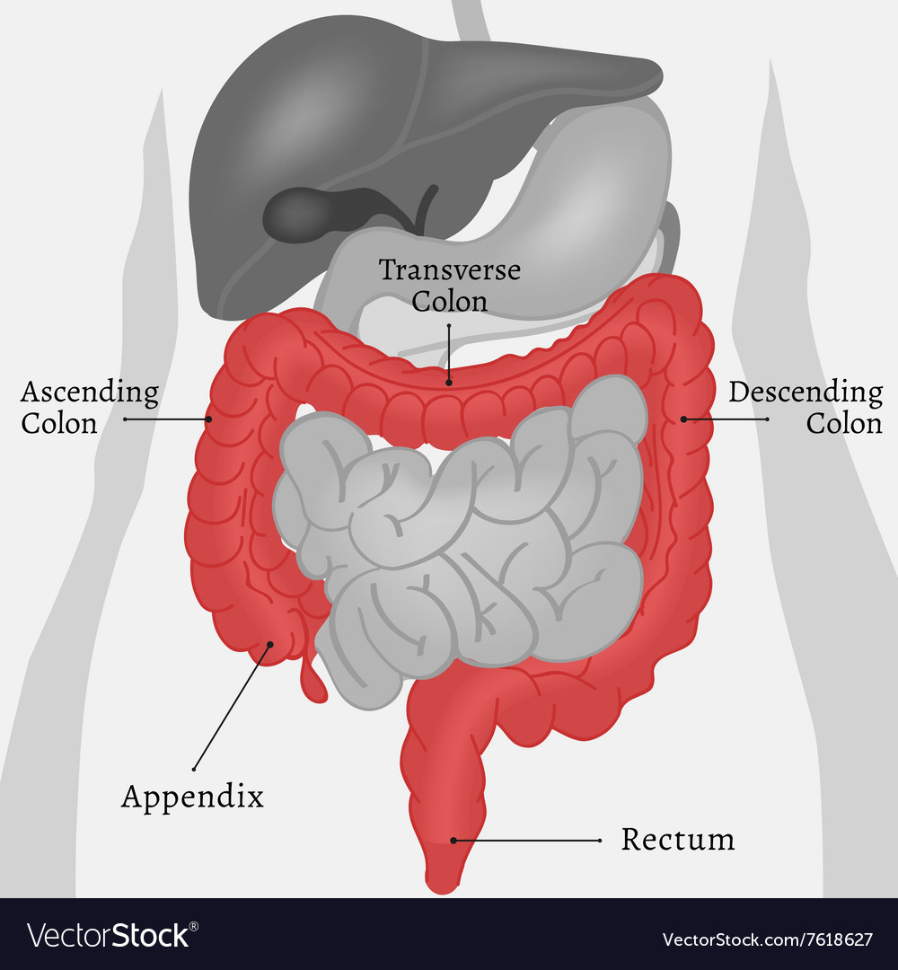Body Internal Parts vector image