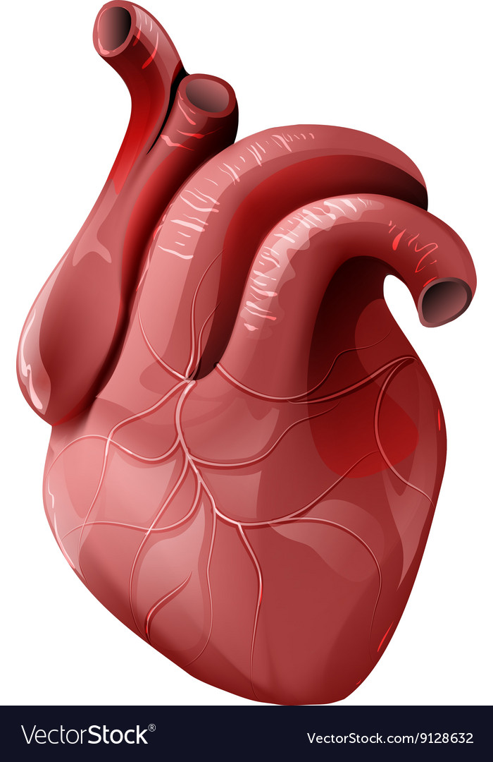 Realistic human heart healthy internal organ vector image ccuart Gallery