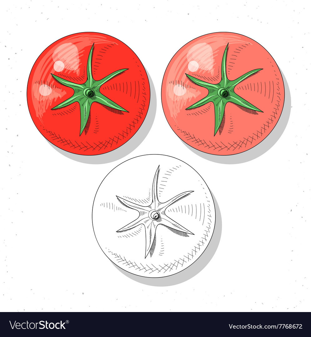 Set realistic sketch tomatoes Plant food Rural vector image