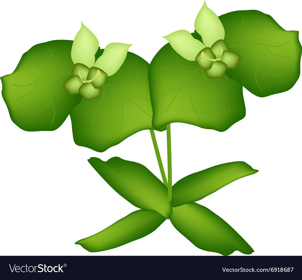 Two Green Cypress Spurge or Euphorbia Cyparissias vector image