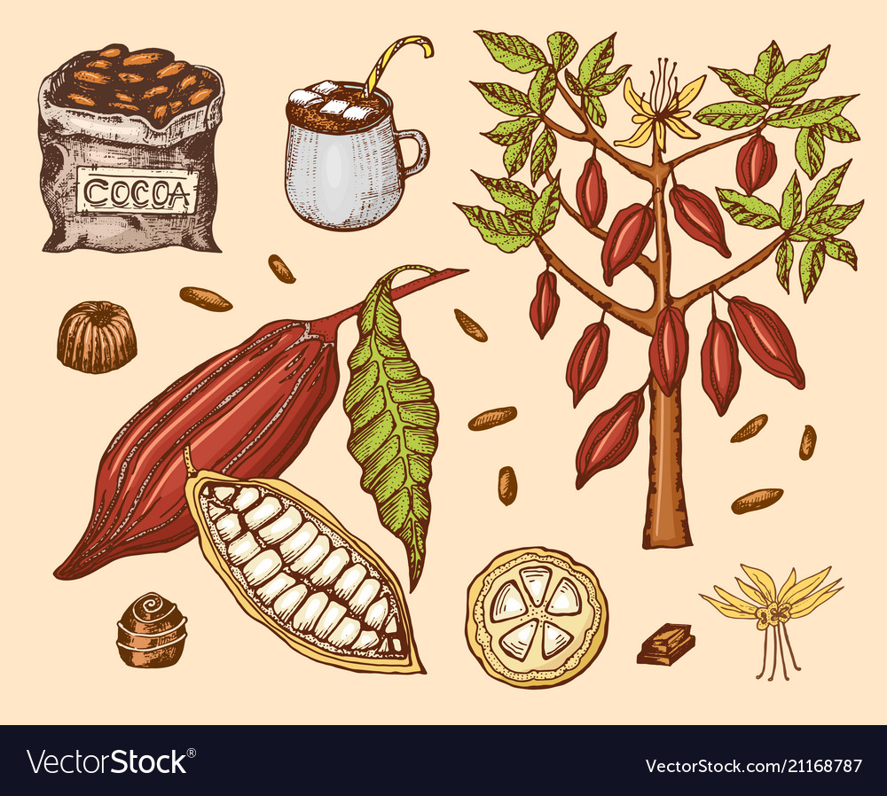 Cocoa beans and hot chocolate natural organic