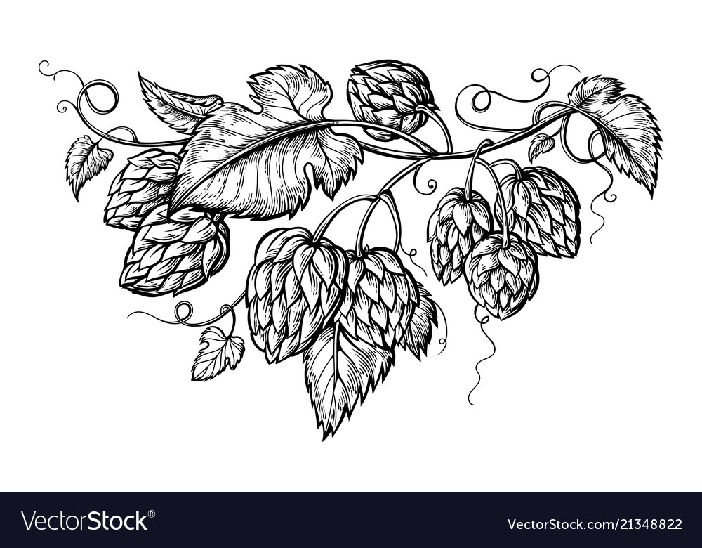 Hand drawing of a branch of hops