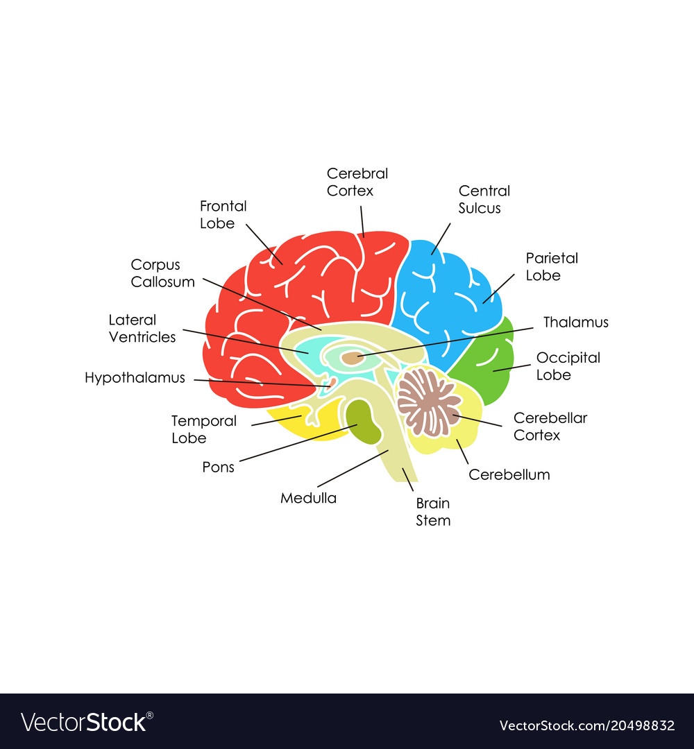 Human brain anatomy card poster Royalty Free Vector Image