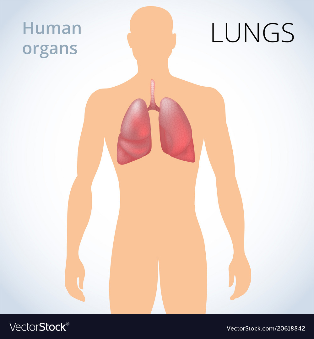 Location Of The Lungs In The Body The Human Vector Image
