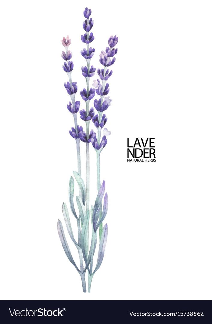 Watercolor Lavender Bouquet Royalty Free Vector Image
