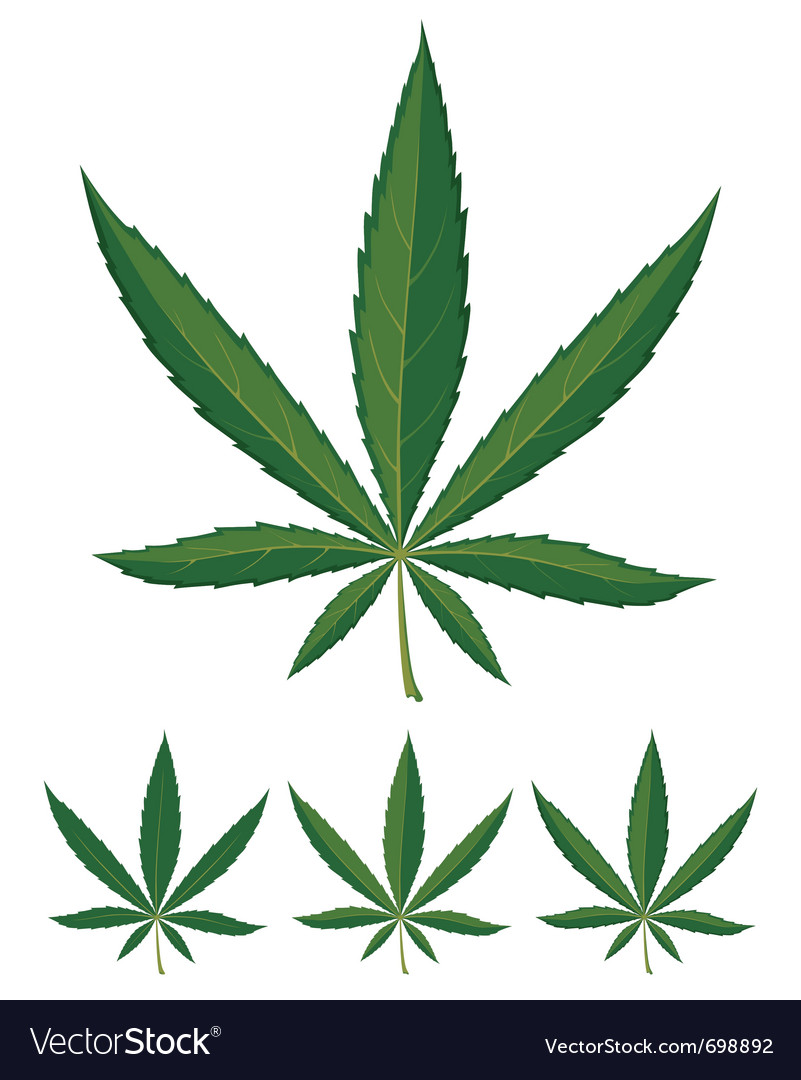 Cannabis leaves over white background