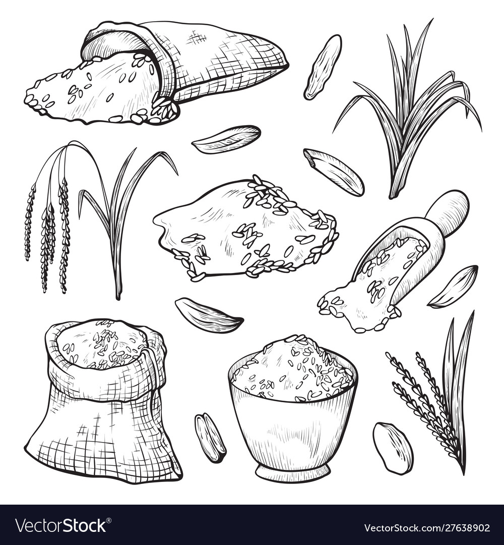 Grain spikelets rice harvesting hand drawn