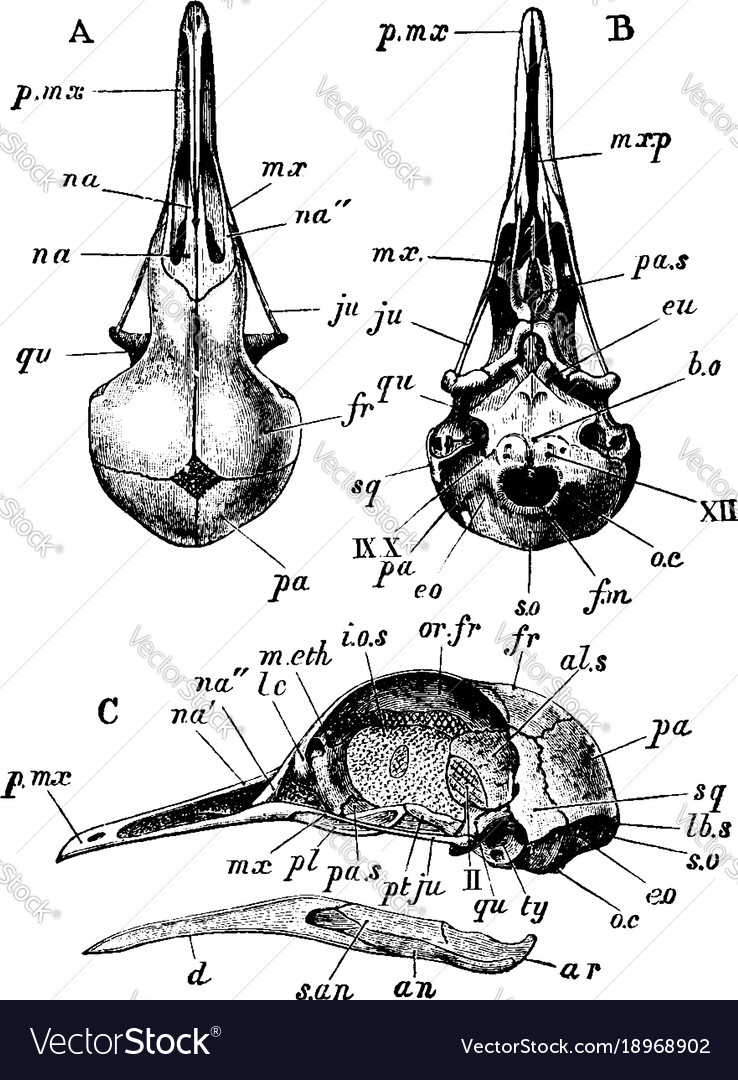 Pigeon Skull Diagram - DIY Enthusiasts Wiring Diagrams •