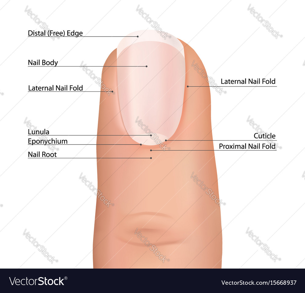 Nail finger anatomy fingernail Royalty Free Vector Image