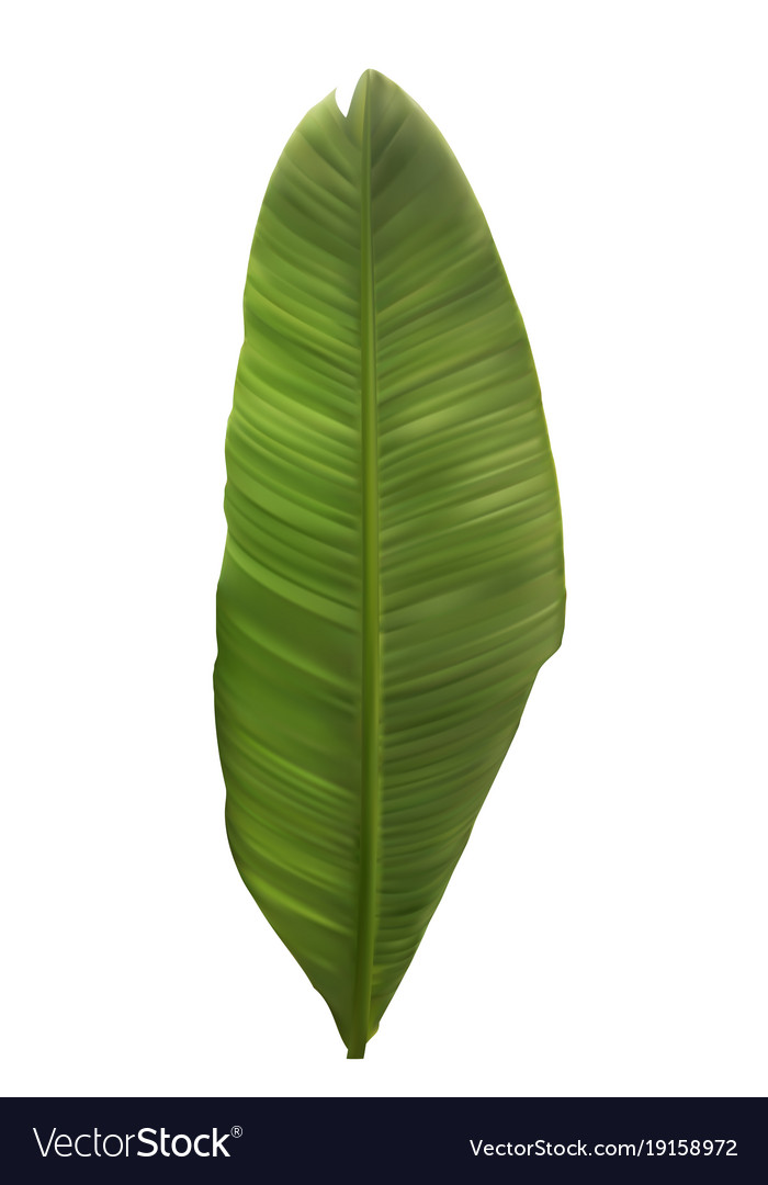 Naturalistic colorful leaf of banana palm