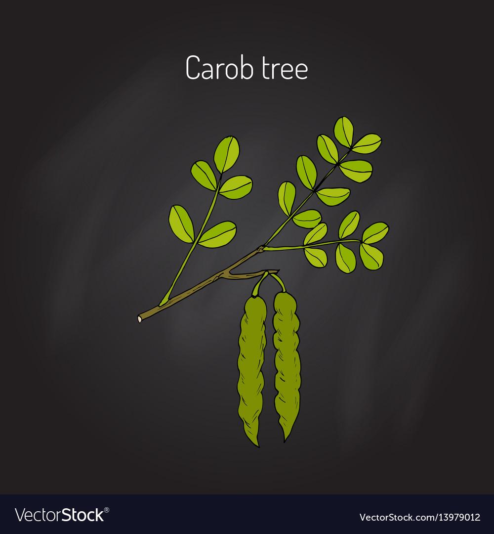 Carob eratonia siliqua vector image