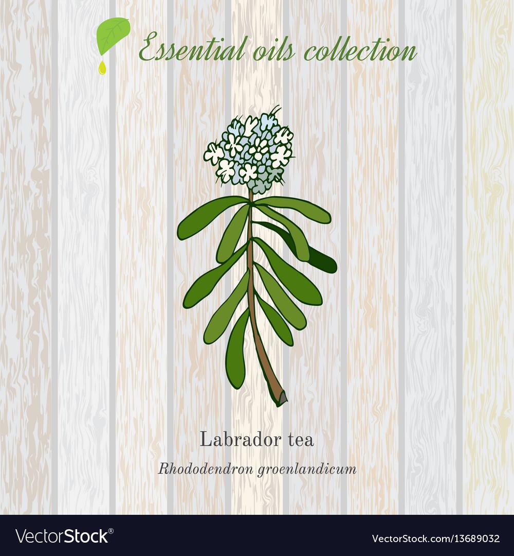 Labrador tea essential oil label aromatic plant