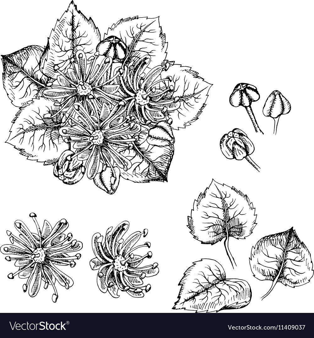Hand drawn linden flowers and leaves