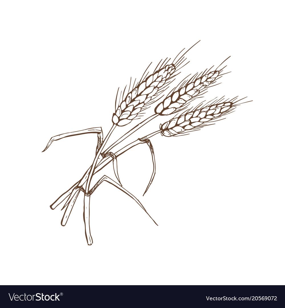Wheat spica