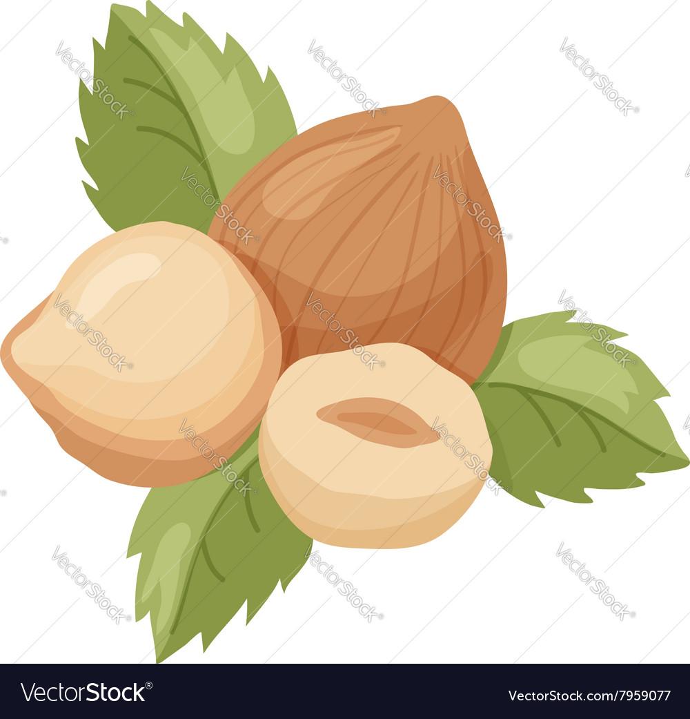 Hazelnut vector image