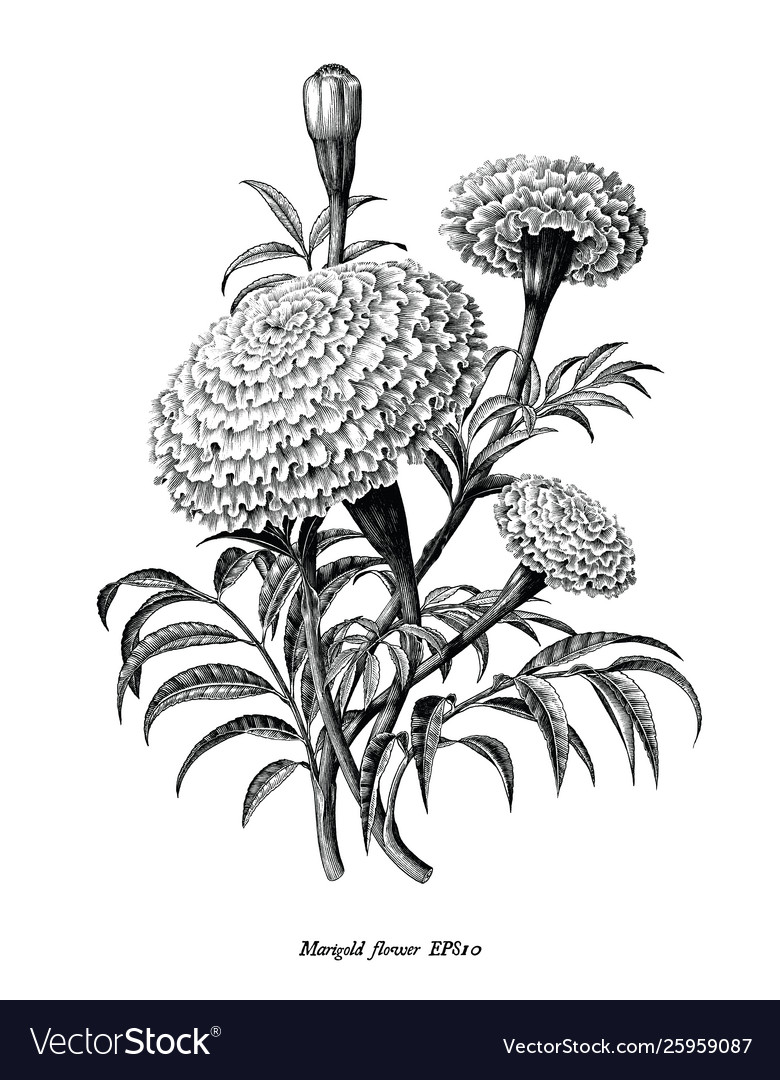 Marigold flower hand draw vintage style black and