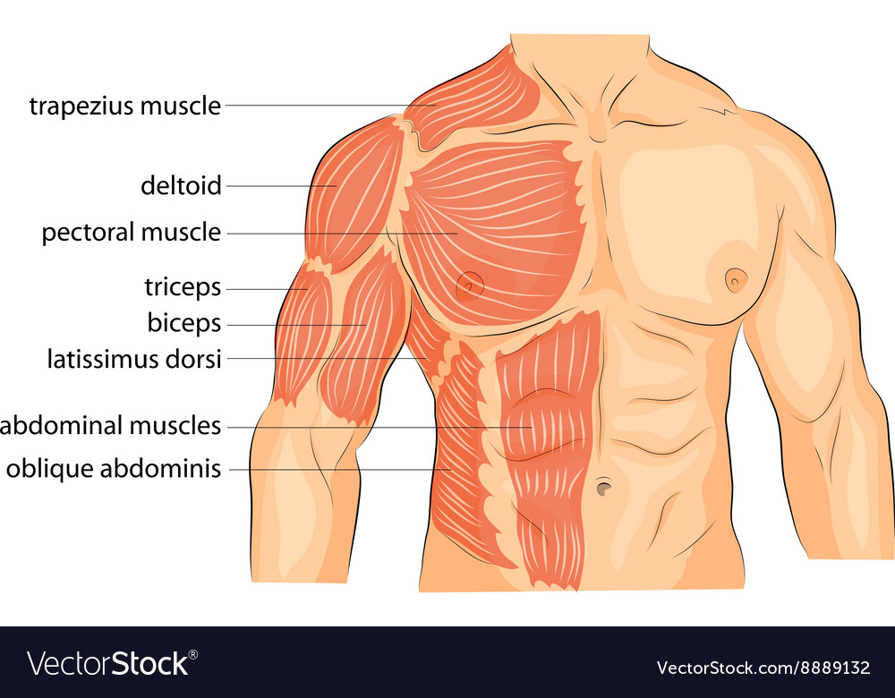 Men s body arms shoulders chest and abs Royalty Free Vector