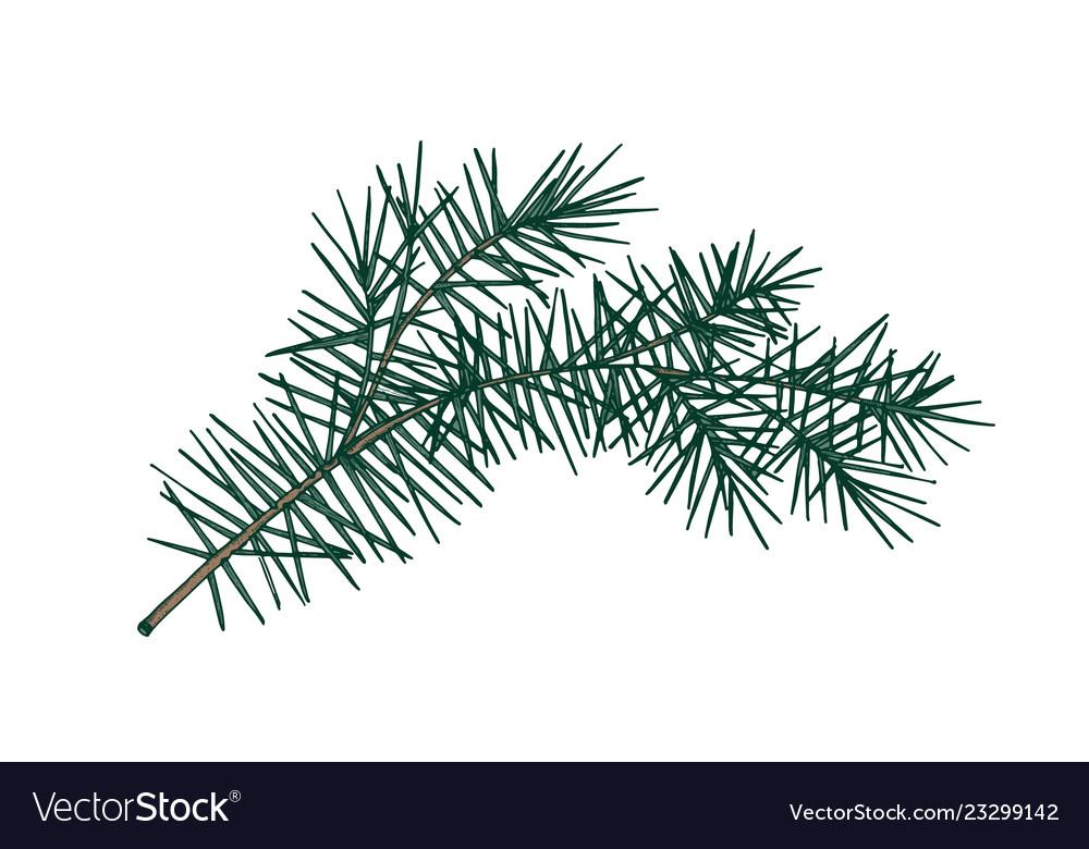Elegant detailed botanical drawing of fir branch