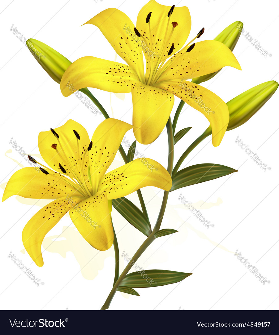 Flower Background With Yellow Beautiful Lilies Vector Image