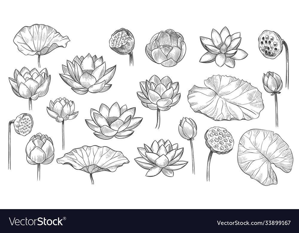 Lotus sketch floral composition lotus flowers and