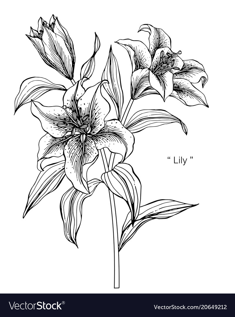 Lily Flower Drawing Royalty Free Vector Image Vectorstock