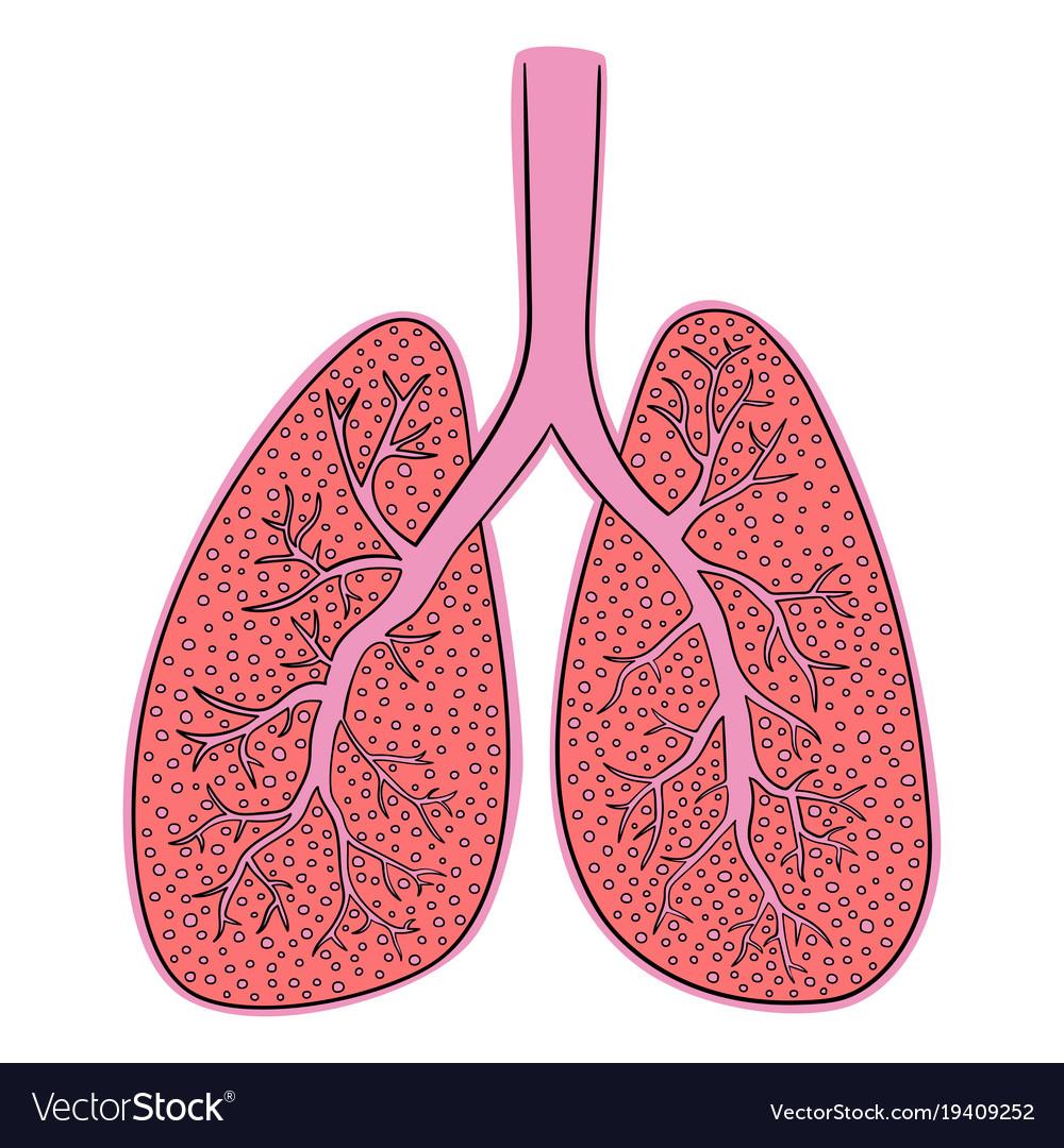 Картинки органов легких