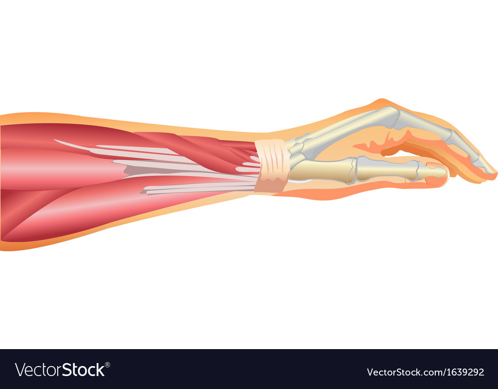 Arm Muscles And Tendons Royalty Free Vector Image