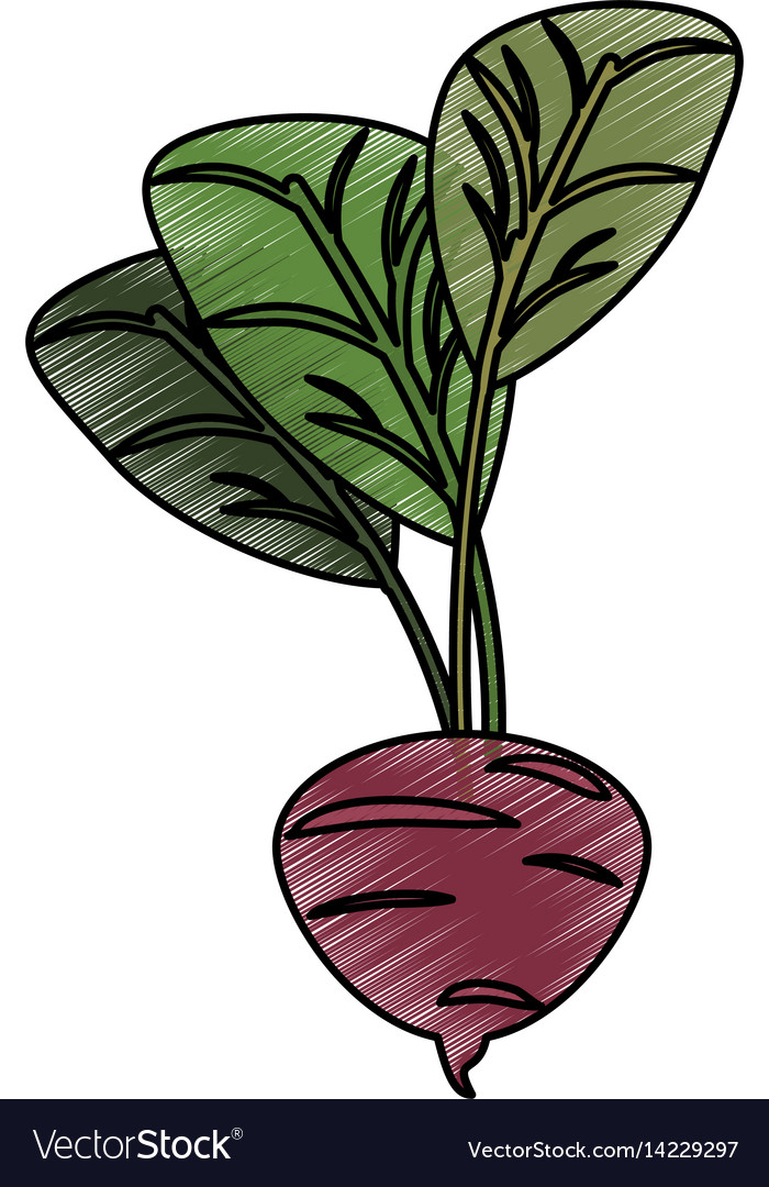 Drawing beetroot food nutrition