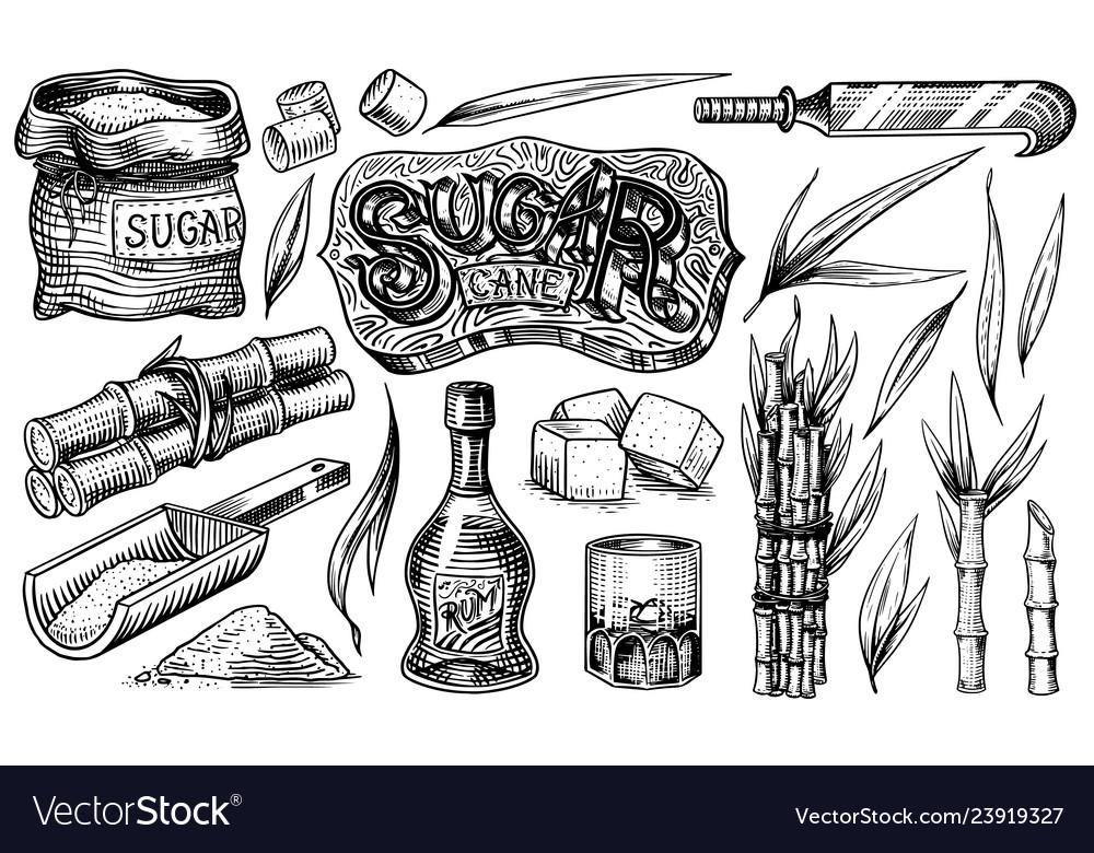 Cane sugar with leaves set of sugarcane plants