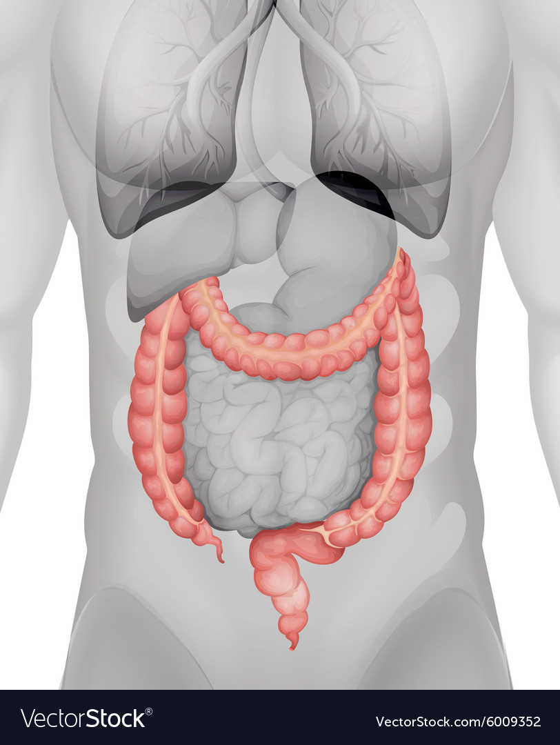 Large Intestine In Human Body Royalty Free Vector Image
