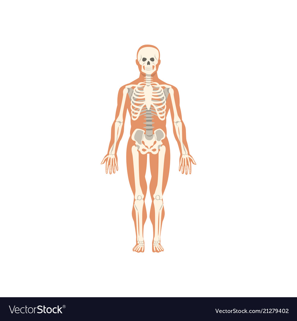 Human Skeletal System Anatomy Of Human Body Vector Image