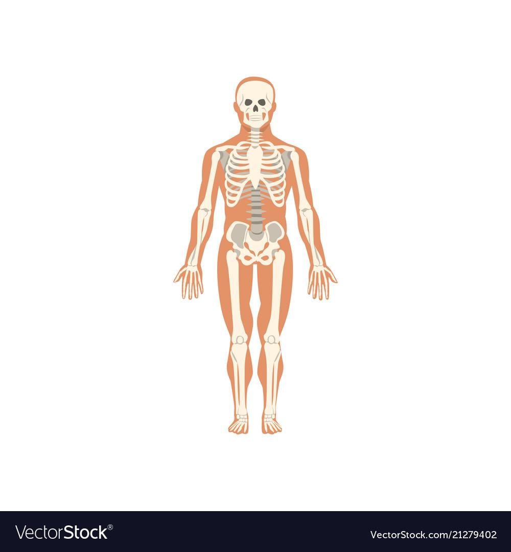 Human skeletal system anatomy of human body Vector Image