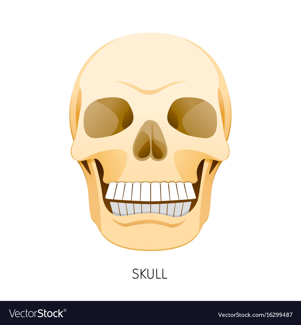 Skull Human Internal Organs Organ Diagram Vector Image