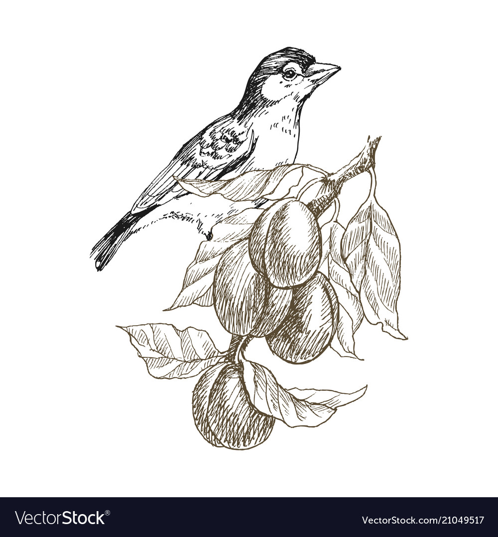 Sparrow bird hand drawn in vintage style with