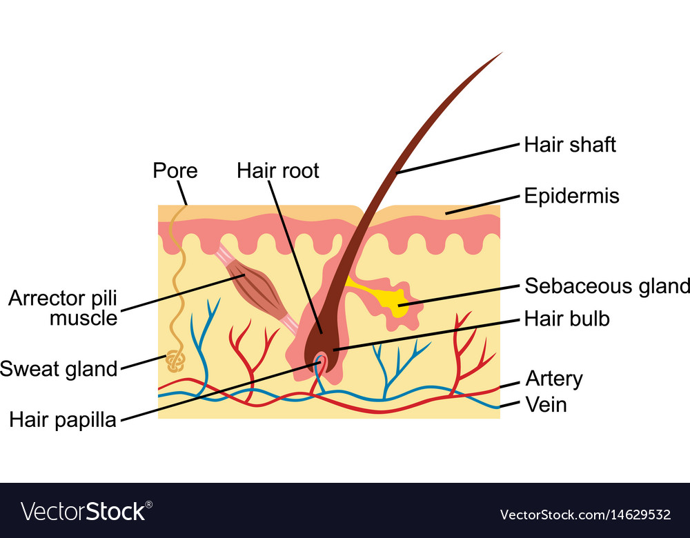 Hair and human skin anatomy Royalty Free Vector Image