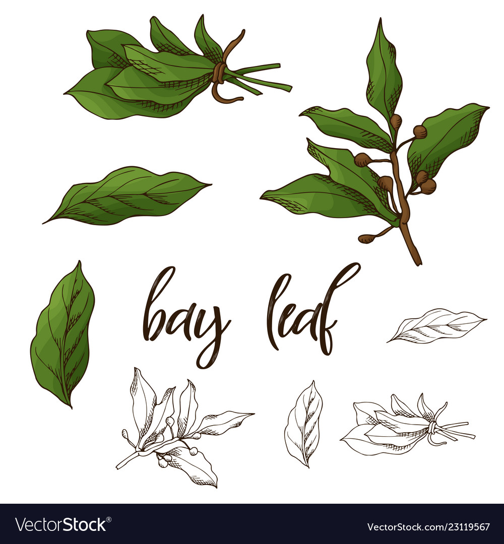 Detailed Retro Image Of Bay Leaf Ink Sketch Vector Image