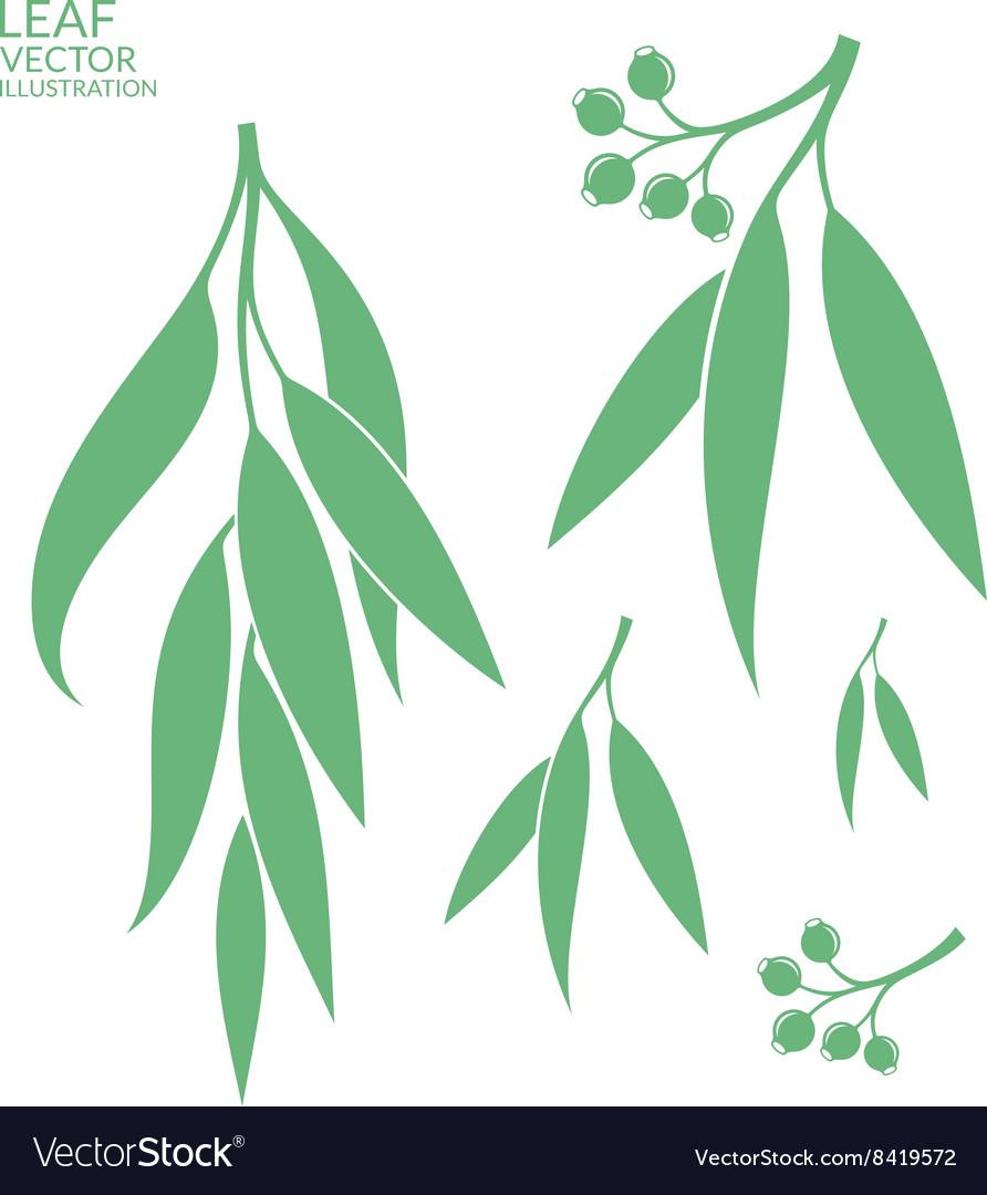 Eucalyptus Isolated leaves