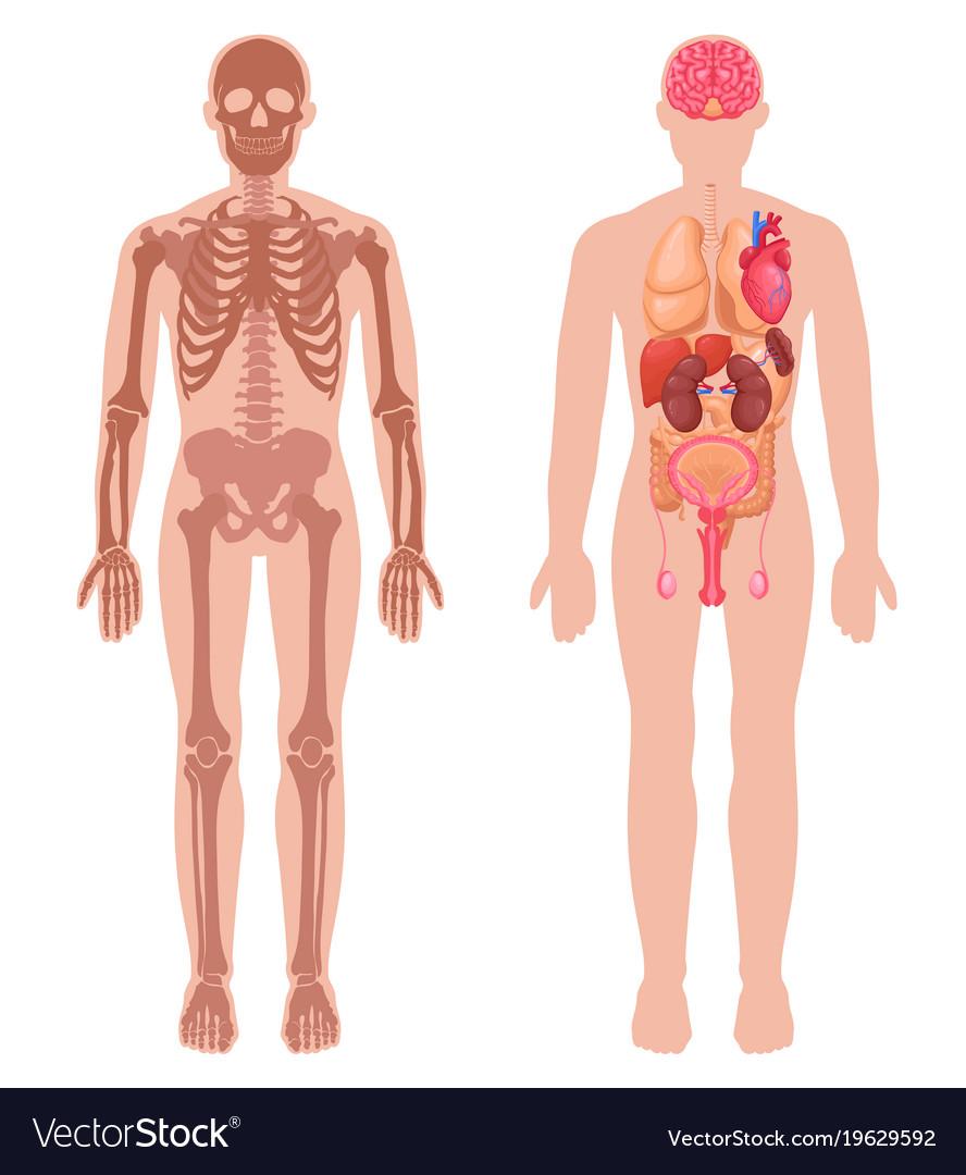 Human Anatomy Set Royalty Free Vector Image Vectorstock