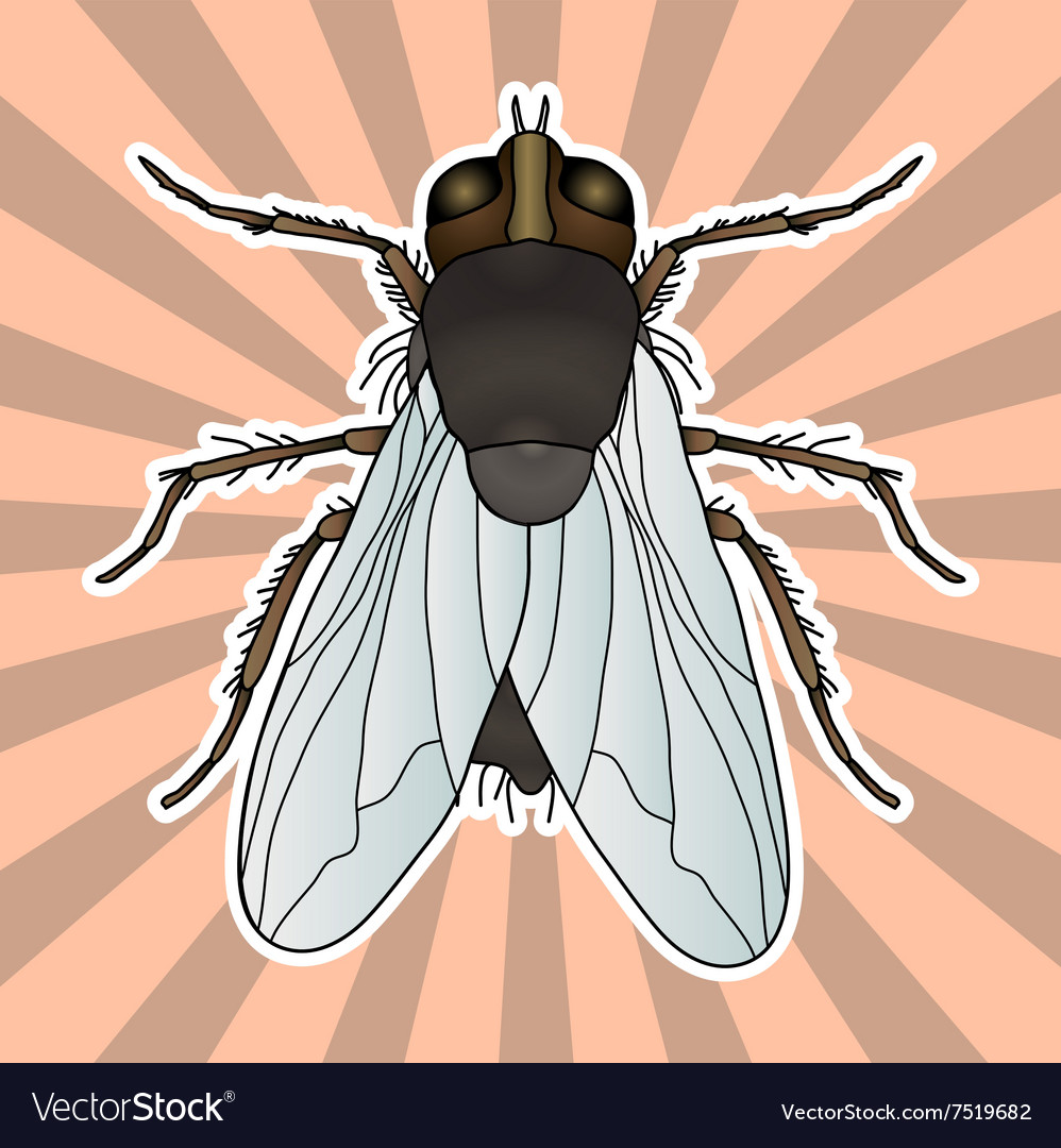 Insect anatomy Sticker fly Musca domestica Vector Image