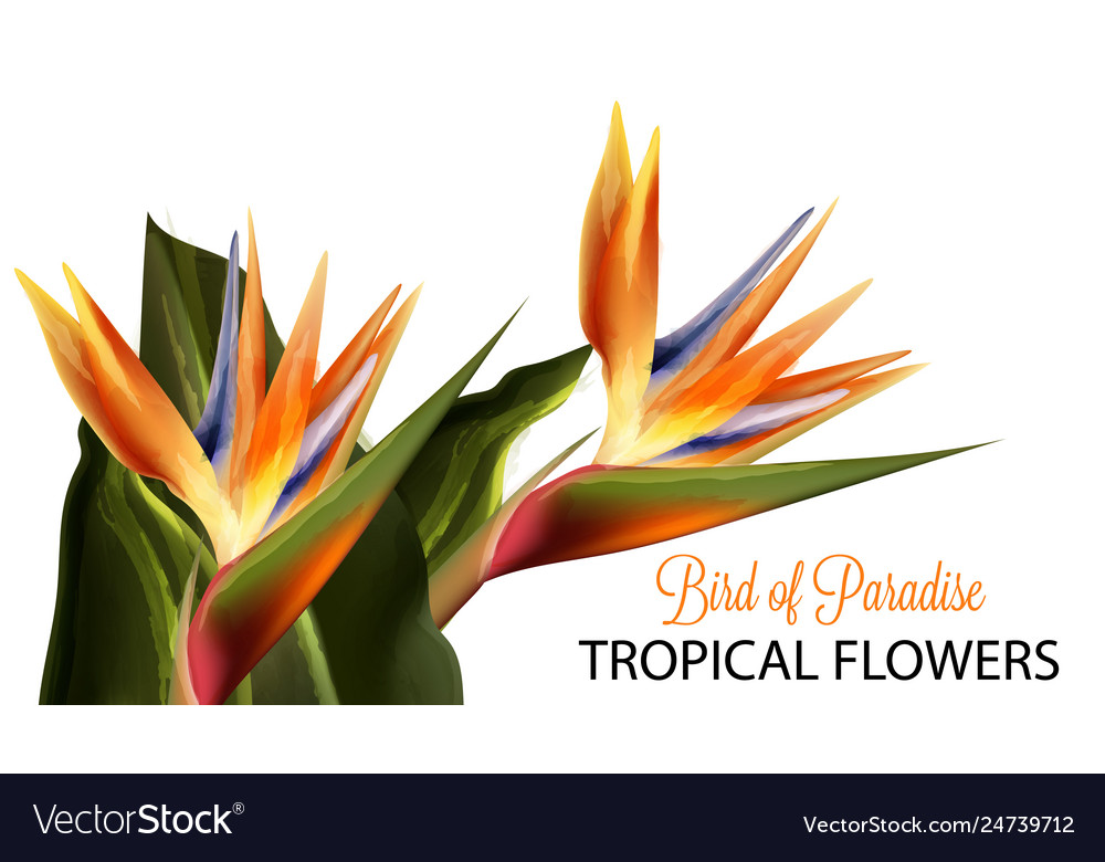Bird paradise flower watercolor isolated