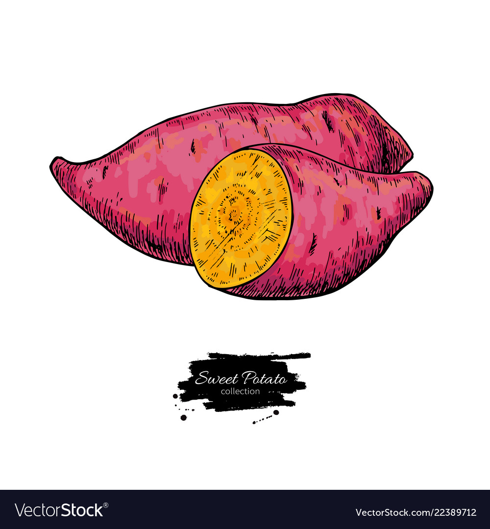 Sweet potato hand drawn