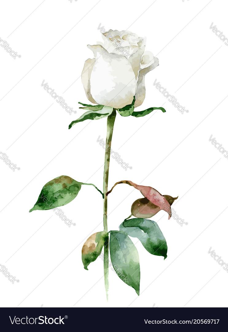 Single White Rose Isolated On White Background Vector Image