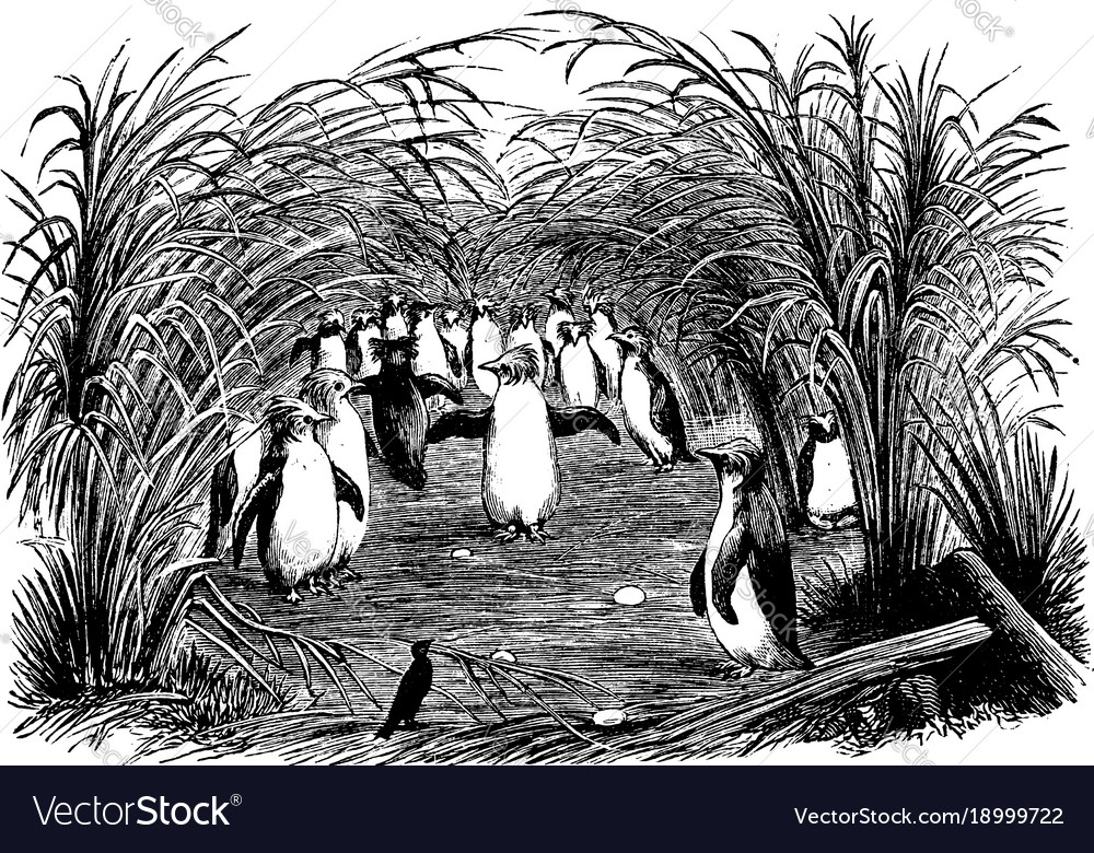 A troop of crested maccaroni or rock hopper