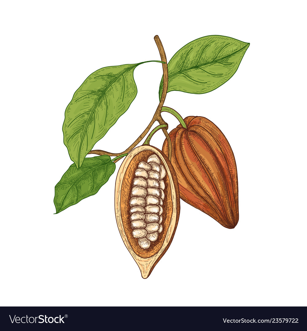 Detailed botanical drawing of whole and cut ripe
