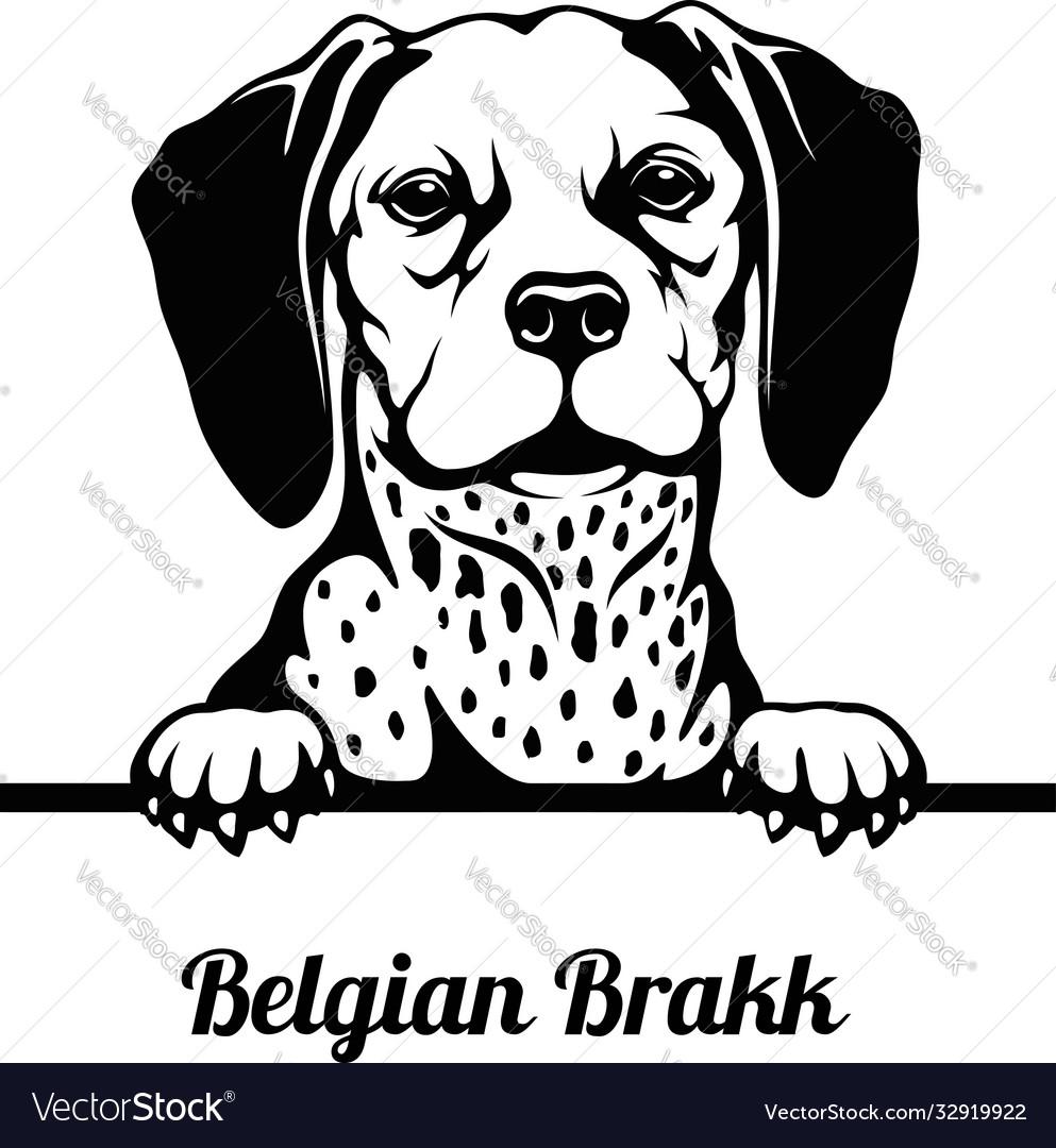 Belgian brakk - peeking dogs - breed face head