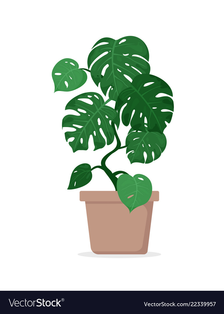 Tropical plant monstera in