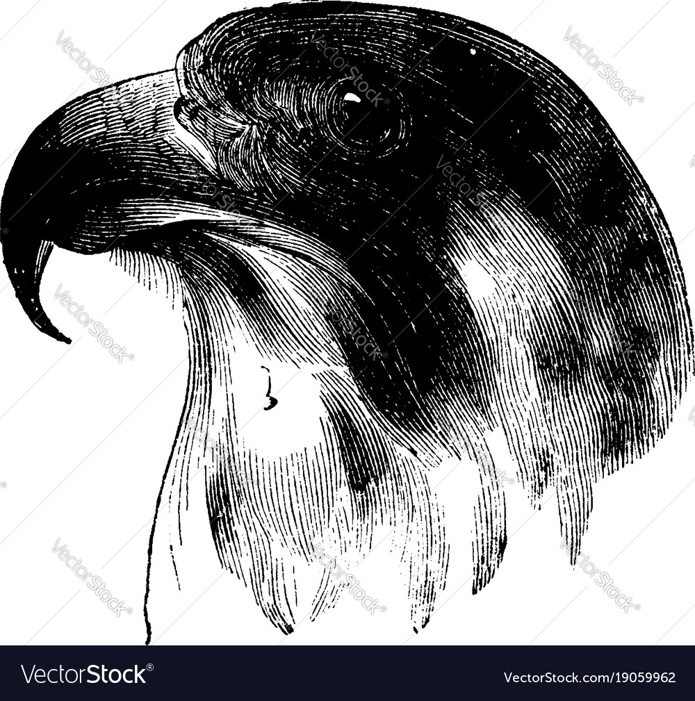 24fb7cec40c87 Head of a peregrine falcon vintage Royalty Free Vector Image