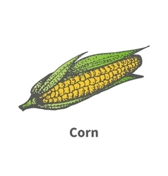 Hand-drawn yellow ripe corn with leaves vector